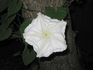 <i>Ipomoea alba</i> species of plant