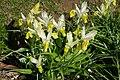 Iris bucharica in Jardin des Plantes 01.jpg