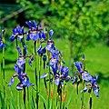 Iris sibirica, Tanel Teemusk.jpg