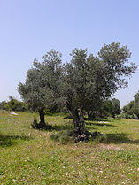 Israeli-olive001