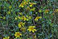 J20151008-0032—Bahiopsis laciniata—RPBG (22306696452).jpg