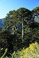 J25 144 chilenische Araukarien, Altersform.jpg