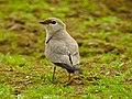 JAWAI BERA BIRDS.4.jpg