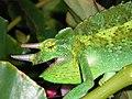 Jacksons Chameleon 1.jpg