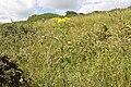 Jacobaea vulgaris-4328.jpg