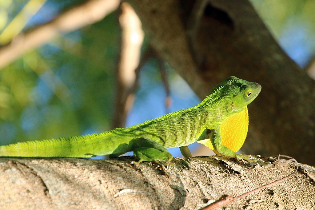 Jamaican Anole Lizard Pictures To Pin On Pinterest Tattooskid