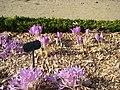 Jardin botanique crocus.JPG