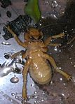 Jerusalem cricket3.JPG
