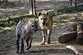 Jeux de hyènes (9376335821).jpg