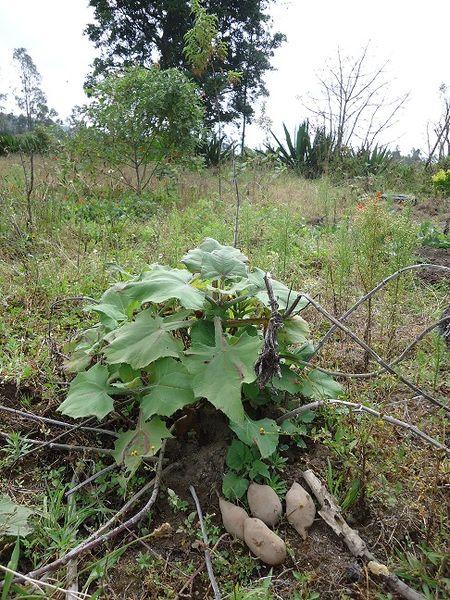plants de yacon