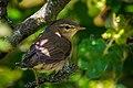 Juveniler Fitis (Phylloscopus trochilus) (2) - Spiekeroog, Nationalpark Niedersächsisches Wattenmeer.jpg