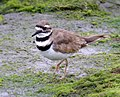 KILLDEER (7-31-07) -2 (968338570).jpg
