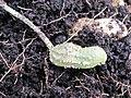 Kacang tanah diserang kulat (cropped).JPG