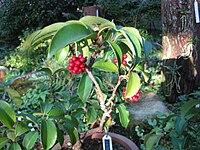 Kadsura japonica1