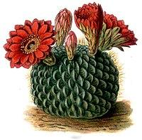 Kaktusy echinocactus cinnabarinus