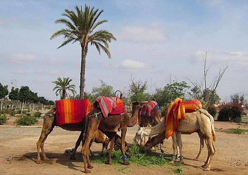 Kamele am Weg zu den Menara-Gärten, Marrakesch - panoramio