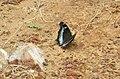 Kaniska canace viridis – Sahyadri Blue Admiral 08.jpg