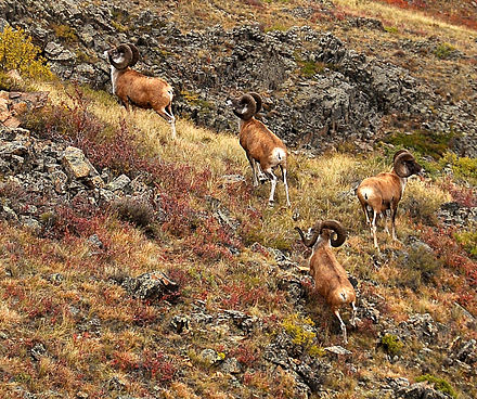 Argali in Karkaraly National Park Karkaraly National Park 11.jpg