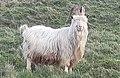 Kashmiri Goat - Capra Markhor (cropped).jpg