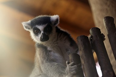 Katta (Lemur catta) Zoo Salzburg 2014 a.jpg