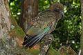 Kea (Nestor notabilis) -side -NZ-8a.jpg