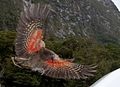 Kea about to land, displaying orange underside of wing.jpg