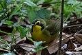 Kentucky Warbler (male) Fall Out 2 Sabine Woods TX 2018-04-09 09-05-41 (41507963151).jpg