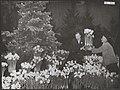 Kerstmis, bloembollen, tentoonstellingen, Bloemenlusthal, Narcissen, Bestanddeelnr 043-0871.jpg