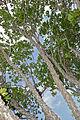 Knob Fig (Ficus sansibarica) (17329728525).jpg