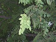KoelreuteriaPaniculata7