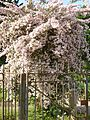 Kolkwitzia amabilis in Jardin des Plantes of Paris 01.jpg