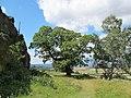 Korina 2011-08-09 Castanea sativa.jpg
