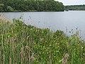 Korina 2012-06-06 Amorpha fruticosa 2.jpg