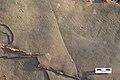 Kouphichnium (Joggins Formation, Cumberland Basin, Pennsylvanian).jpg