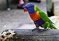 Kuranda Rainbow Lorrikeet-02 (8259750818).jpg