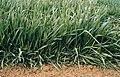 LPCC-612-Plantes de triticale.jpg