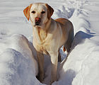 Labrador Retriever snow.jpg