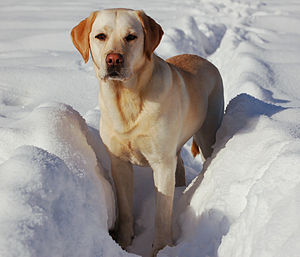 A Labrador Retriever in the snow.