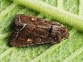 Lacanobia oleracea - Bright-line brown-eye - Совка огородная (27201536228).jpg