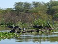 Lake Naivasha National Park - panoramio - Николай Максимович.jpg