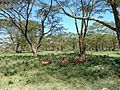 Lake Nakuru, Impala, Kenya.jpg