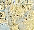 Lama ou alpaga de toute façon je suis beau n'est ce pas - panoramio.jpg