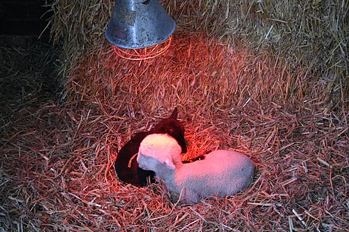 Lambs under a heating lamp