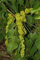 Lannea schweinfurthii var. tomentosa03.jpg