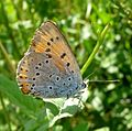 Large Copper u-s. Lycaena dispar - Flickr - gailhampshire.jpg
