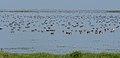 Large Flock of Ducks at Nalabana Bird Sanctuary (19399500184).jpg
