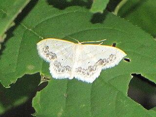 <i>Scopula</i> Genus of geometer moths in subfamily Sterrhinae