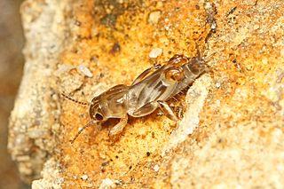 <i>Neotridactylus</i> genus of insects