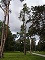Larix kaempferi 05.jpg