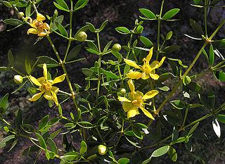 <i>Larrea divaricata</i> species of plant